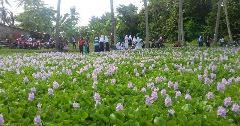 Eceng Gondok, Hama Pertanian yang Jadi Pendukung Utama Wisata Ala Jepang - Pikiran-Rakyat.com