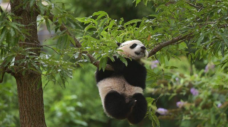 https: img-k.okeinfo.net content 2016 11 15 406 1541786 panda-kebun-binatang-guangzhou-lebih-aktif-di-musim-dingin-0XfZQGUg5d.jpg