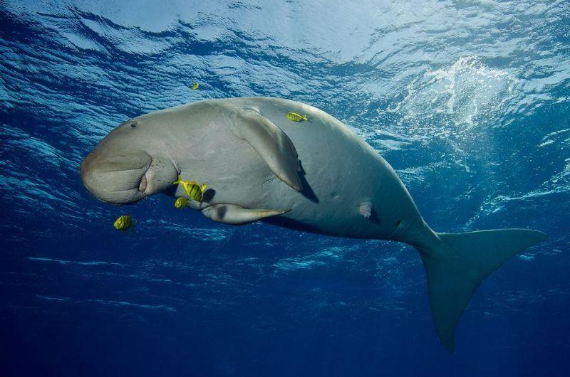https img k.okeinfo.net content 2017 01 09 406 1587136 gemasnya melihat ikan dugong di pulau alor k7V21BNGaI.jpg