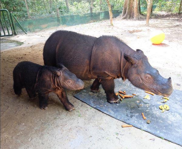 https: img-k.okeinfo.net content 2017 05 16 406 1692584 delilah-si-anak-badak-asal-sumatera-yang-kekinian-WV0uxA5jew.JPG
