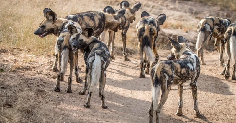 https: img-k.okeinfo.net content 2017 09 08 56 1772136 do-you-know-unik-kelompok-anjing-liar-afrika-lakukan-voting-dengan-bersin-DnbE7RKVrB.jpg