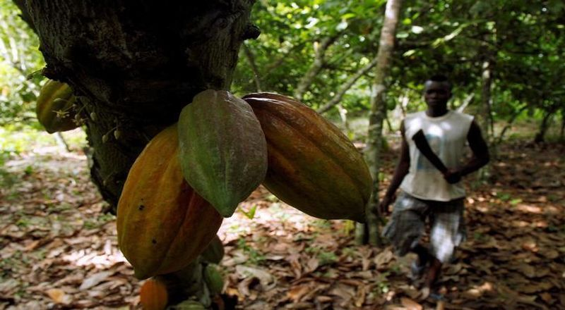 https: img-k.okeinfo.net content 2017 10 12 320 1794068 waduh-harga-kakao-gelondongan-di-petani-ternyata-hanya-rp18-000-kg-nn04EjveYP.jpg