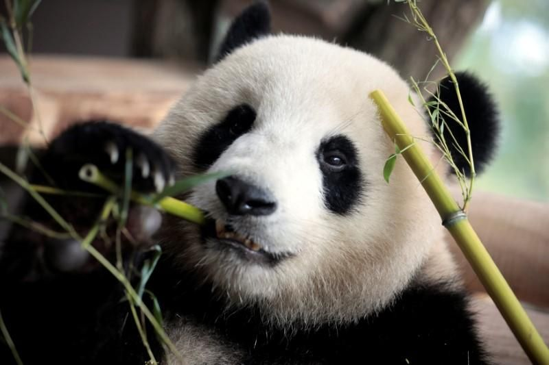 https: img-k.okeinfo.net content 2017 10 23 18 1800840 unik-panda-di-jerman-punya-kebiasaan-berjalan-mundur-guU5laGA0j.jpg
