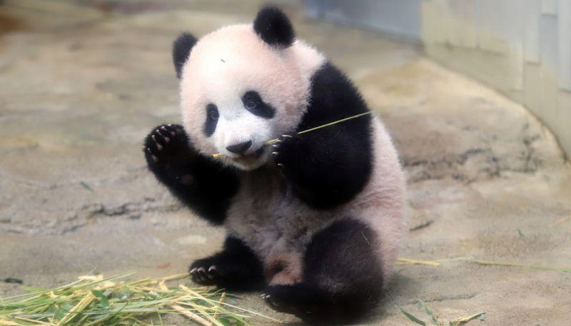 https: img-k.okeinfo.net content 2017 12 18 18 1832224 tampil-pertama-kali-di-tokyo-aksi-imut-bayi-panda-xiang-xiang-curi-perhatian-rC9rq8j1WT.jpg