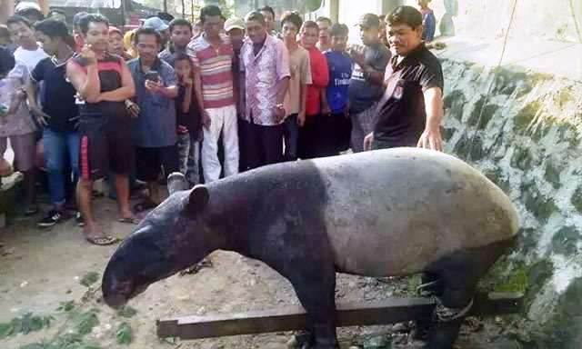 https: img-k.okeinfo.net content 2017 12 19 340 1832509 hewan-tapir-yang-ditemukan-warga-sempat-rusak-tanaman-dXtnBizGyR.jpg