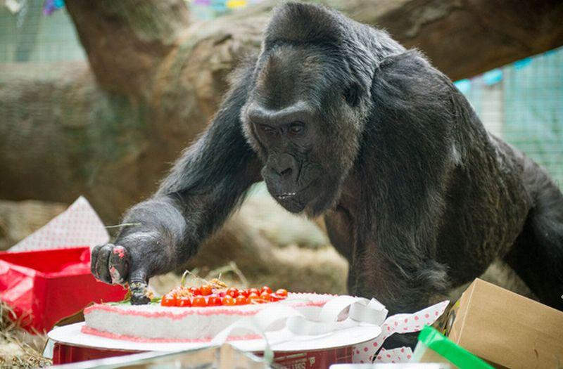 https: img-k.okeinfo.net content 2017 12 22 18 1834302 61-tahun-kelahiran-bayi-gorila-pertama-di-kebun-binatang-R5F25iKEl6.jpg