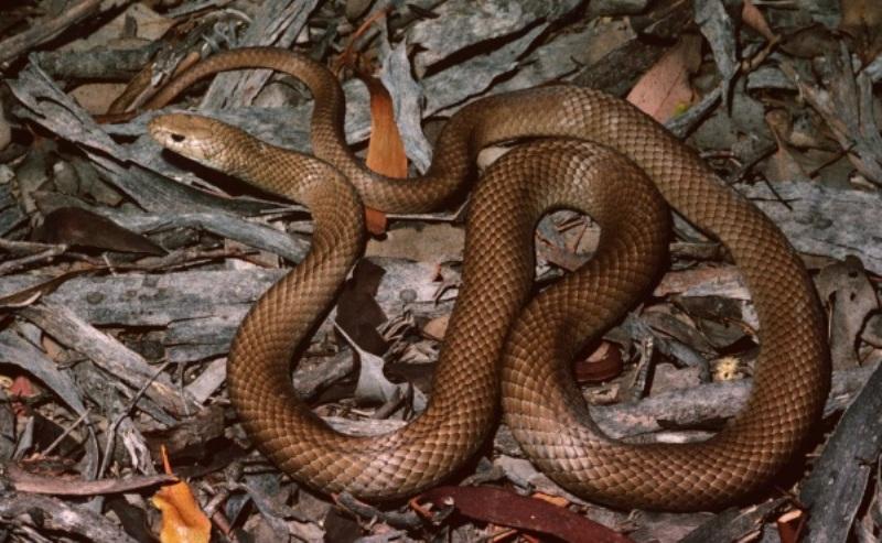 https: img-k.okeinfo.net content 2018 01 12 18 1844350 lindungi-anjingnya-pria-di-australia-tewas-dipatuk-ular-berbisa-P0yBb9lG9D.jpg