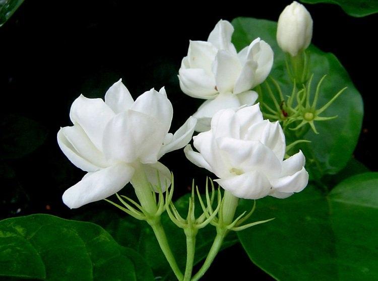 https: img-k.okeinfo.net content 2018 01 22 298 1848272 alasan-bunga-melati-terdapat-pada-racikan-teh-khas-indonesia-91oDdwmT4J.jpg