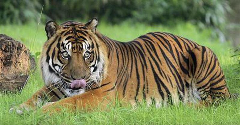 https: img-k.okeinfo.net content 2018 04 11 56 1884951 fakta-sains-harimau-yang-jarang-diketahui-orang-XVzRs87xWL.jpg