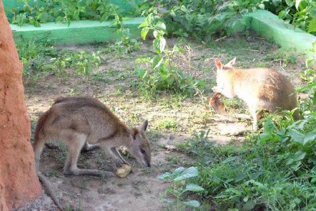 https: img-k.okeinfo.net content 2018 04 17 406 1887862 walabi-kanguru-mungil-dari-ujung-timur-indonesia-k5EahyoP2K.jpg