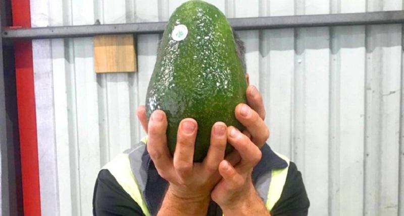 https: img-k.okeinfo.net content 2018 07 12 298 1921381 ini-dia-alpukat-raksasa-australia-beratnya-capai-1-7-kg-per-buah-hwXZor4cNH.jpg