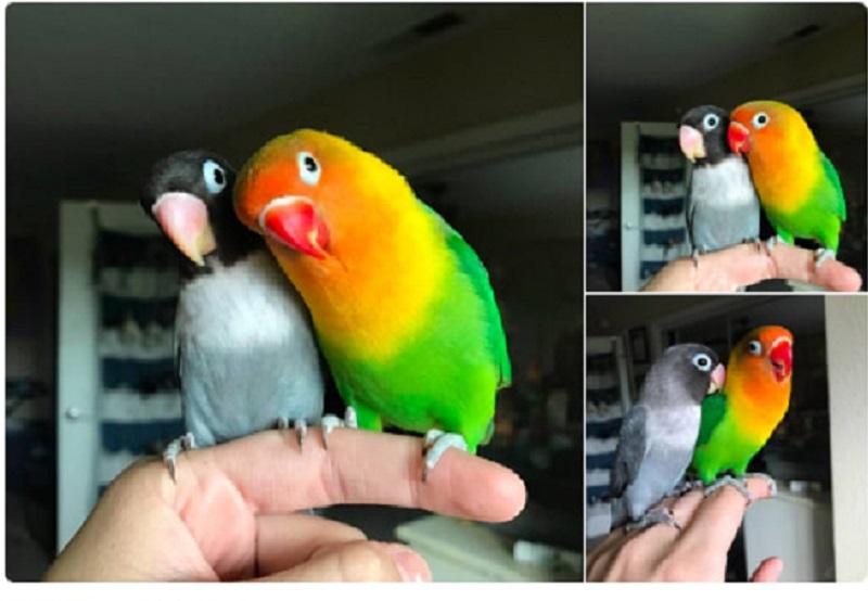 https: img-k.okeinfo.net content 2018 07 14 196 1922269 kisah-burung-love-bird-ini-dijamin-bikin-mewek-inE74yThBp.jpg