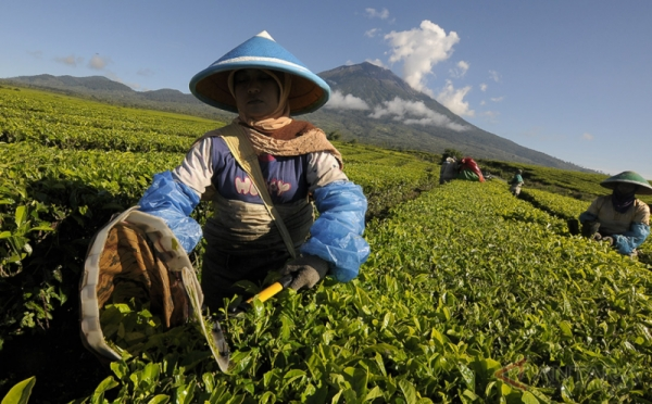 https: img-k.okeinfo.net content 2018 07 14 320 1922313 teh-indonesia-terima-penghargaan-teas-of-the-world-toJ0FzeC02.jpg