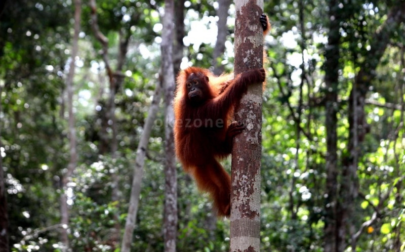 https: img-k.okeinfo.net content 2018 07 25 340 1927187 hutan-terbakar-orangutan-turun-ke-permukiman-cari-perlindungan-OUj9E1i6vo.jpg
