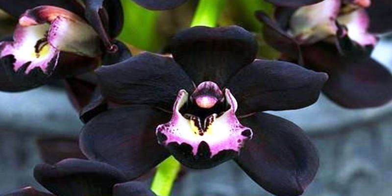 https: img-k.okeinfo.net content 2018 08 17 406 1938062 dari-edelweis-hingga-anggrek-hitam-inilah-deretan-bunga-asli-indonesia-R6GfthW4CM.jpg