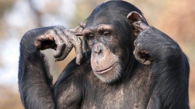 https: img-k.okeinfo.net content 2018 08 26 337 1941506 simpanse-bisa-ajarkan-5-hal-penting-terkait-politik-kepada-manusia-Gpb6TrOvNi.jpg