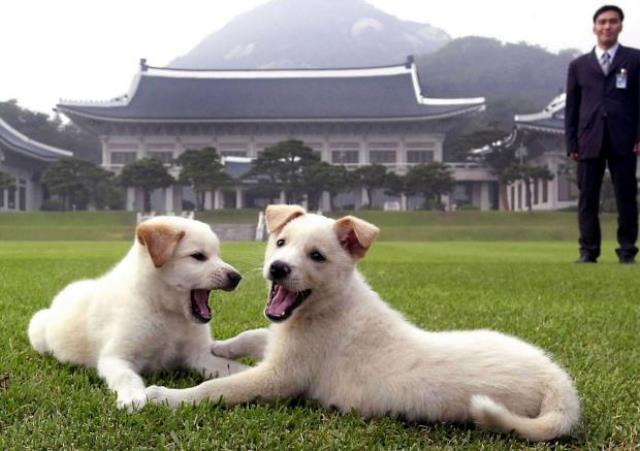 https: img-k.okeinfo.net content 2018 10 01 18 1957839 kim-jong-un-hadiahkan-sepasang-anjing-khas-korut-ke-presiden-korsel-bIEWCgh2b7.jpg