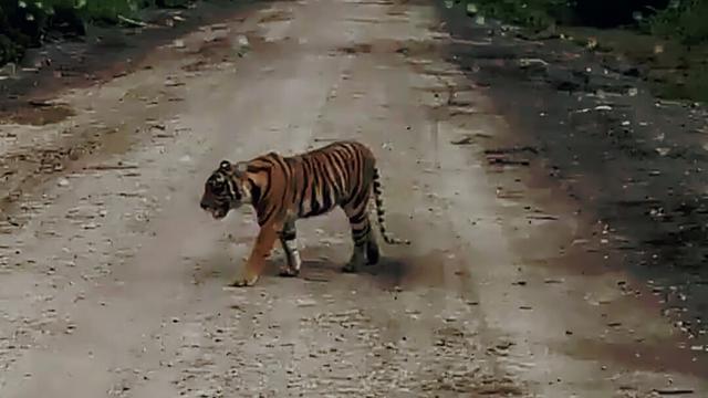 https: img-k.okeinfo.net content 2018 11 14 340 1977797 warga-heboh-ada-harimau-sumatera-tersesat-di-ruko-hJyVHjrYMb.jpg