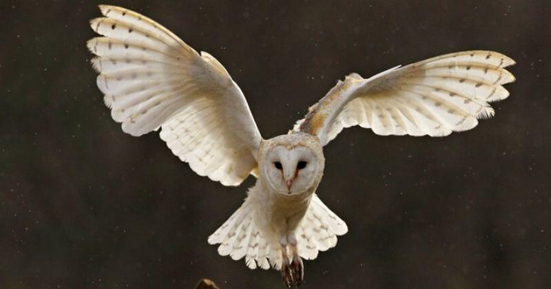 7400 Gambar Burung Hantu Barn Owl HD Terbaru