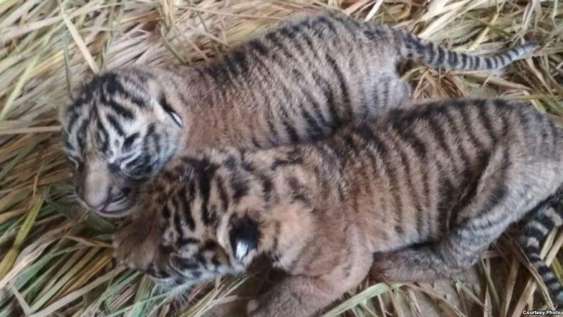 https: img-k.okeinfo.net content 2019 01 01 340 1998506 sakit-seekor-bayi-harimau-hanya-mampu-bertahan-10-hari-di-tmsbk-bukittinggi-VQf37Lk9k6.jpg