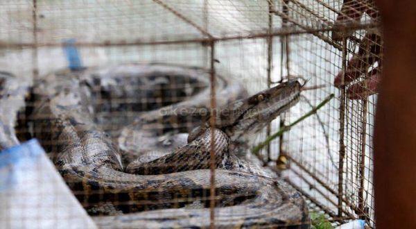 https: img-k.okeinfo.net content 2019 01 16 510 2005087 ular-piton-bermunculan-di-gunungkidul-melukai-beberapa-warga-ZwuCDBAZoe.jpg