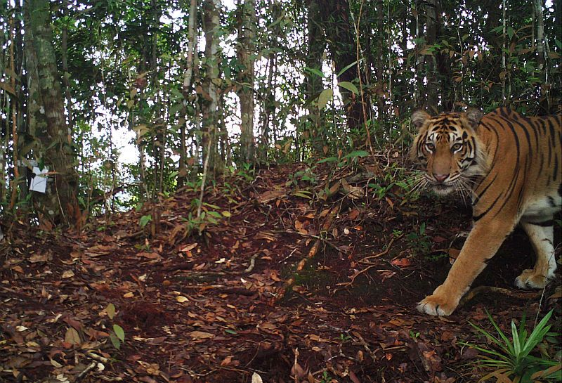 https: img-k.okeinfo.net content 2019 02 03 340 2013194 kawanan-harimau-teror-warga-di-kebun-karet-banyuasin-MH8QJrehCz.jpg
