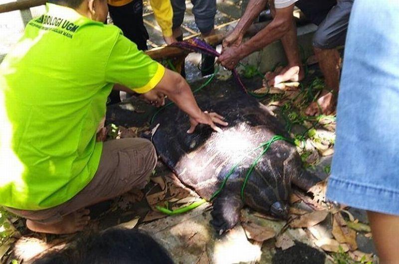 https: img-k.okeinfo.net content 2019 02 07 510 2014813 warga-yogyakarta-temukan-bulus-raksasa-berumur-50-tahun-panjangnya-1-meter-b2seVaN0kv.jpg