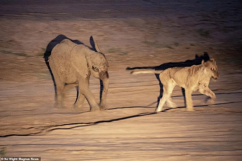 https: img-k.okeinfo.net content 2019 02 08 406 2015268 terancam-dimangsa-bayi-gajah-hajar-singa-betina-hingga-tewas-rGLepwRrTO.jpg