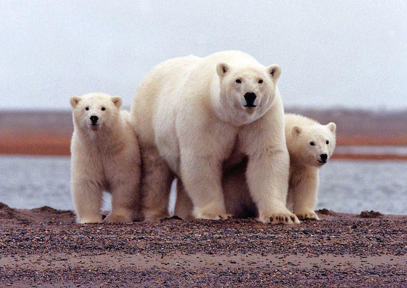 https: img-k.okeinfo.net content 2019 02 11 18 2016279 kepulauan-terpencil-rusia-umumkan-keadaan-darurat-karena-invasi-beruang-kutub-1W8Pb8puiy.jpg