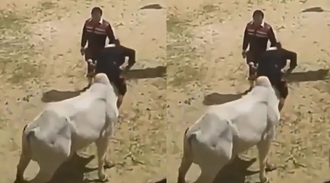 https: img-k.okeinfo.net content 2019 02 13 196 2017497 ajaib-pria-ini-jinakkan-sapi-dengan-cara-hand-stand-gejsfuHp6k.jpg
