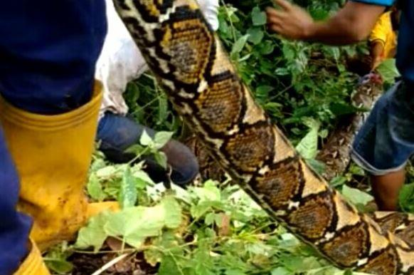 https: img-k.okeinfo.net content 2019 03 17 609 2031233 pria-ini-injak-ular-6-meter-yang-baru-saja-menelan-sapi-BVLMtCGH4d.JPG