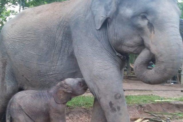 https: img-k.okeinfo.net content 2019 03 28 340 2036128 bayi-gajah-jantan-kembali-lahir-di-taman-nasional-way-kambas-hsCP1havB5.jpg