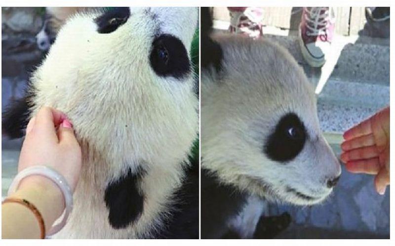https: img-k.okeinfo.net content 2019 04 22 406 2046570 sentuh-bayi-panda-wanita-ini-diserbu-netizen-vb8HFNCl4n.jpg