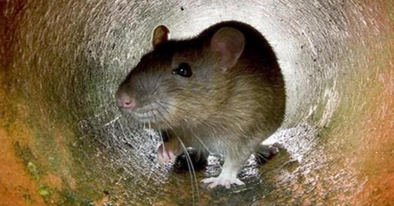 https: img-k.okeinfo.net content 2019 05 12 510 2054716 penyakit-akibat-kencing-tikus-merebak-di-sleman-1-orang-meninggal-9mngG033e5.jpg
