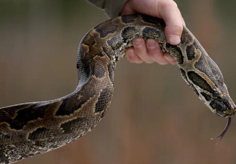 https: img-k.okeinfo.net content 2019 06 02 340 2063258 petani-di-buton-tewas-dililit-ular-phyton-sepanjang-7-meter-q9cJ9Omjat.JPG