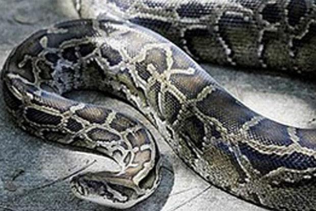 https: img-k.okeinfo.net content 2019 06 03 340 2063292 kronologi-perempuan-paruh-baya-tewas-diterkam-ular-piton-di-buton-rqFVs0sjj0.jpg