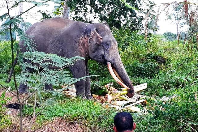 https: img-k.okeinfo.net content 2019 06 17 340 2067364 2-gajah-latih-kelelahan-hadapi-gajah-liar-di-permukiman-warga-MyK0R6pJ48.jpg