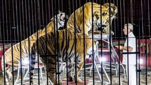 https: img-k.okeinfo.net content 2019 07 06 18 2075422 pelatih-sirkus-paling-terkenal-di-italia-tewas-diserang-4-harimau-saat-latihan-ZDdlBuC5f9.jpg