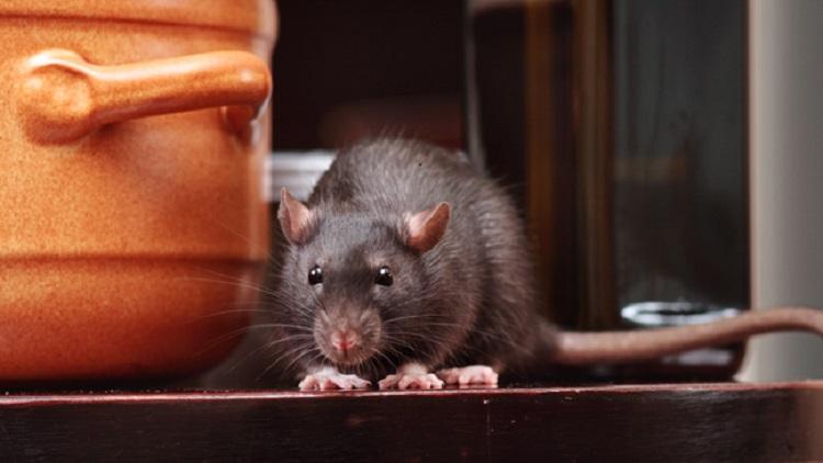https: img-k.okeinfo.net content 2019 07 15 481 2078935 viral-video-tikus-makan-makanan-di-warteg-ini-bahaya-yang-mengintai-BIU8gIHJLK.jpg