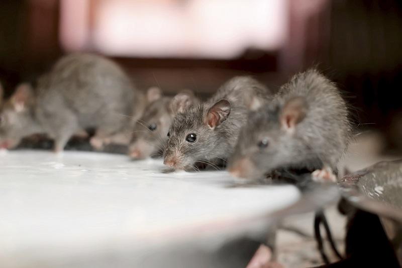 https: img-k.okeinfo.net content 2019 07 19 298 2081214 diklaim-lebih-sehat-1-liter-susu-tikus-dijual-rp276-juta-Lks6hQLFqq.jpg