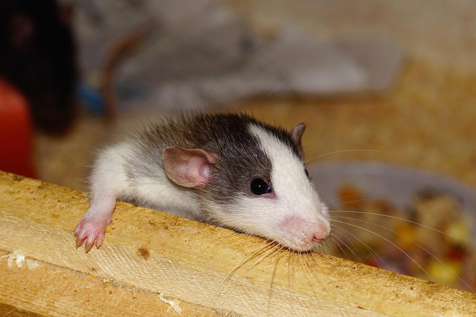 https: img-k.okeinfo.net content 2019 07 21 612 2081737 ini-eksperimen-gunakan-tikus-paling-gila-dalam-sejarah-MskwQ1r28C.jpg