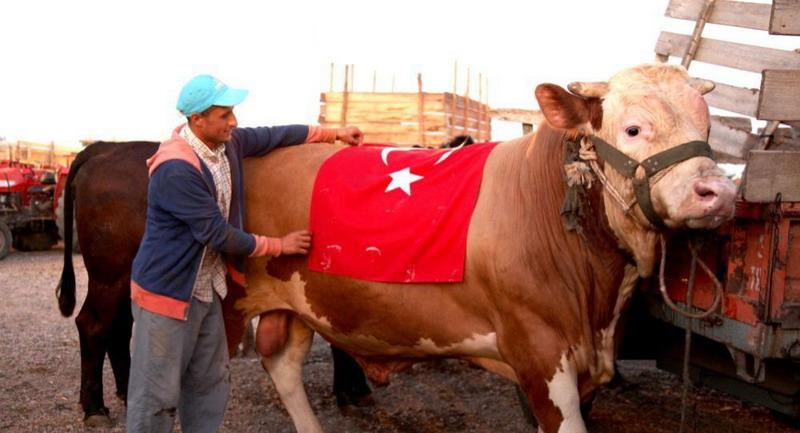 https: img-k.okeinfo.net content 2019 08 10 18 2090276 dukung-erdogan-sapi-kurban-di-turki-dinamai-seperti-sistem-rudal-rusia-cZOFfrYyLZ.jpg