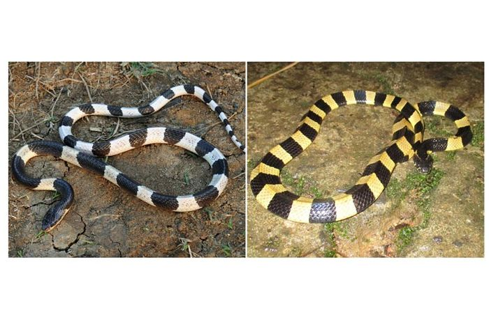https: img-k.okeinfo.net content 2019 08 22 338 2095429 sekuriti-di-tangerang-tewas-usai-coba-jinakkan-ular-dengan-sapu-lidi-xWewya6AWh.jpg