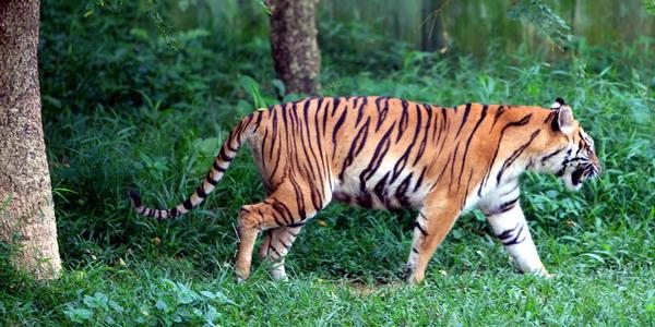 https: img-k.okeinfo.net content 2019 08 26 340 2096896 cari-kayu-di-hutan-pria-ini-tewas-diterkam-harimau-IX8u6j9nr5.jpg