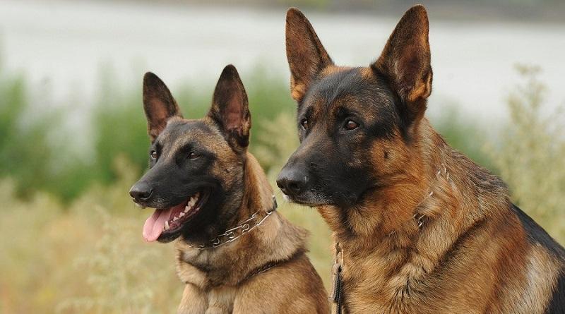 https: img-k.okeinfo.net content 2019 09 03 612 2100221 bima-aryo-beberkan-buasnya-anjing-belgian-malinois-sering-incar-kepala-dan-leher-GoyKTWcCGD.jpg