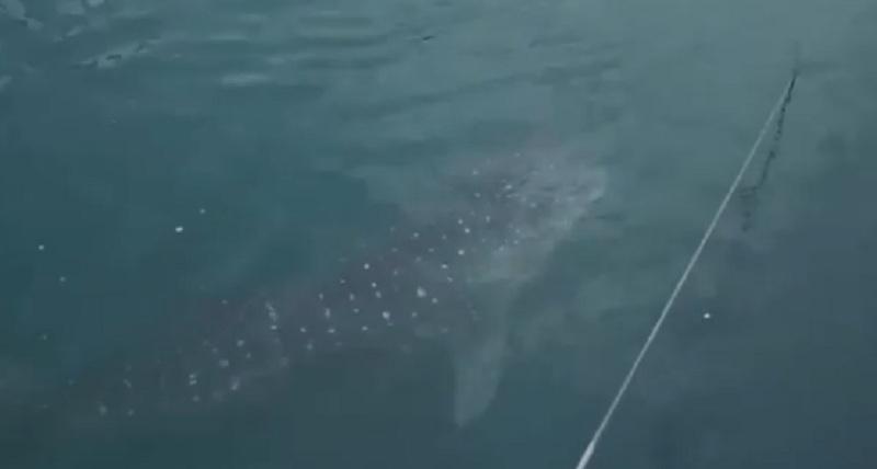 https: img-k.okeinfo.net content 2019 09 20 320 2107341 hiu-paus-yang-tersasar-di-pltu-paiton-ternyata-berstatus-terancam-punah-TBunNLSbXk.jpg