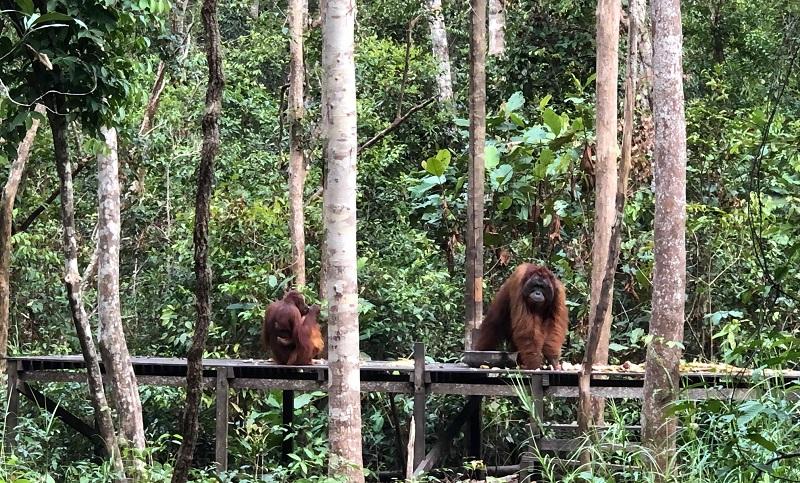https: img-k.okeinfo.net content 2019 09 30 406 2111096 pariwisata-tanjung-puting-bantu-keberlangsungan-hidup-orangutan-UWHD5KhX7Z.jpg