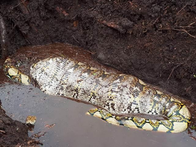 https: img-k.okeinfo.net content 2019 10 23 340 2120894 ular-piton-raksasa-ditemukan-sedang-makan-babi-di-kebun-sawit-537kZayjSM.jpg