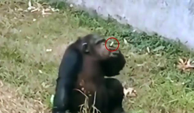 https: img-k.okeinfo.net content 2019 11 06 18 2126464 seekor-simpanse-terekam-mengisap-rokok-seperti-manusia-di-bonbin-china-ph2IAFUU6Z.jpg
