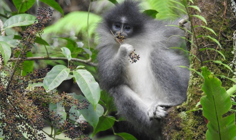 https: img-k.okeinfo.net content 2020 01 17 207 2154149 mengenal-surili-si-monyet-beruban-wZUm2EZBZT.jpg